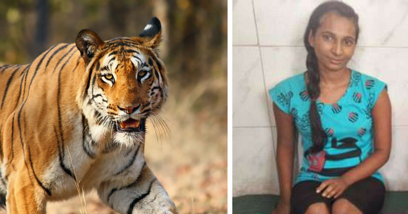 Woman fights off adult Bengal tiger with a stick to save her goat and lives  to tell the tale