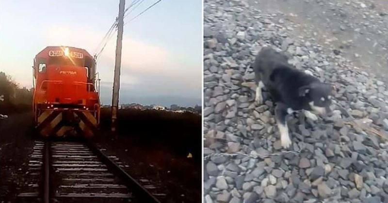Driver brings train to a halt just in the nick of time to save dog chained to tracks