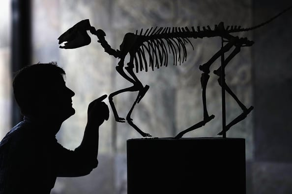 An Eohippus skeleton on auction. (Photo by Dan Kitwood/Getty Images)