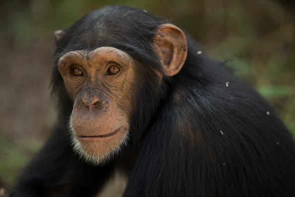 Apes throw their poop to show anger. (Photo by Dan Kitwood/Getty Images)