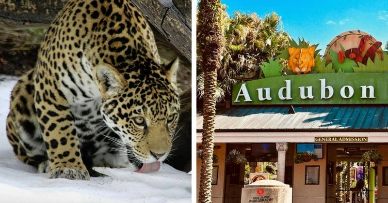 Toll From Jaguaru0027s Killing Spree At New Orleans Zoo Rises ...