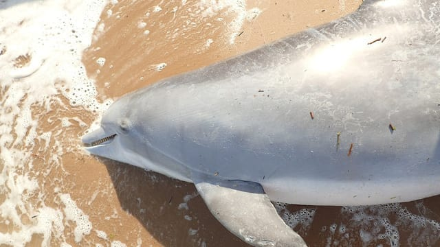 The dolphin was found dead on a beach in Waveland, Mississippi, on April 30 (NOAA)