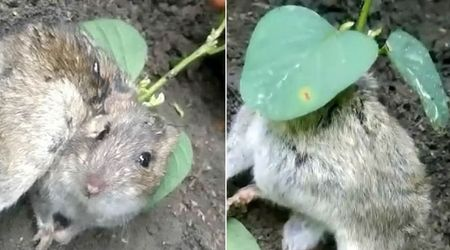 Watch: Bizzare video of a rat with plant growing out of its back