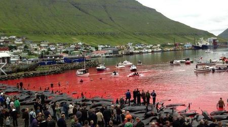 SHOCKING! Sea turns red as 180 whales are brutally slaughtered by residents in annual ritual