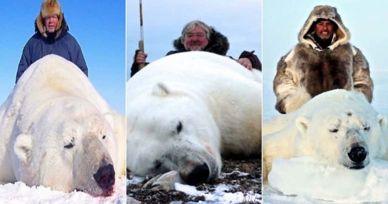 Polar bear trophy hunters pose with bloodied animals in advertisement for firms offering $44,000 trips to the Arctic for a hunt