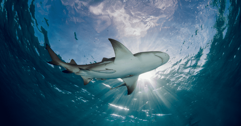 Species Wars: Sharks are now significantly smaller and rarer in areas closer to human population