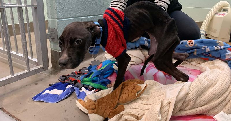 Severely emaciated pit bull weighing just 15 pounds leaves vets shocked as authorities hunt for owner