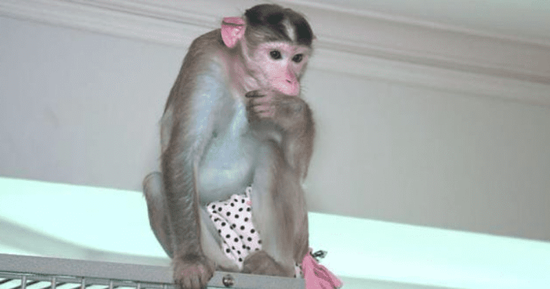 Missouri woman with PTSD fights city law to keep 3 emotional support monkeys: 'They assist me'