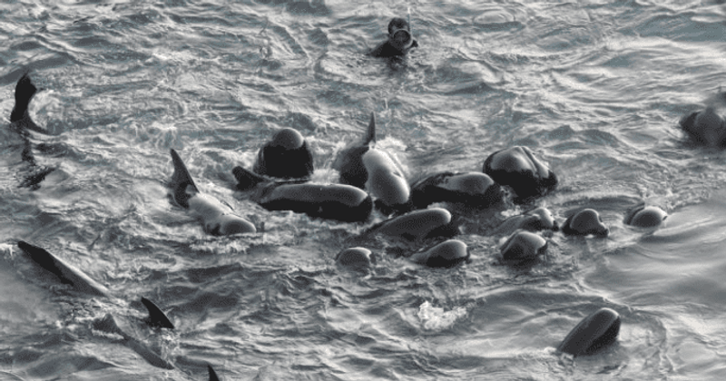Heartbreaking moment dolphins swim close and comfort one another before hunters move in to slaughter them