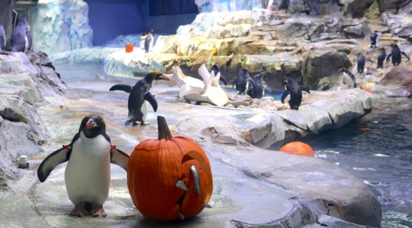 The penguins got pumpkins stuffed with fishes (SWNS)