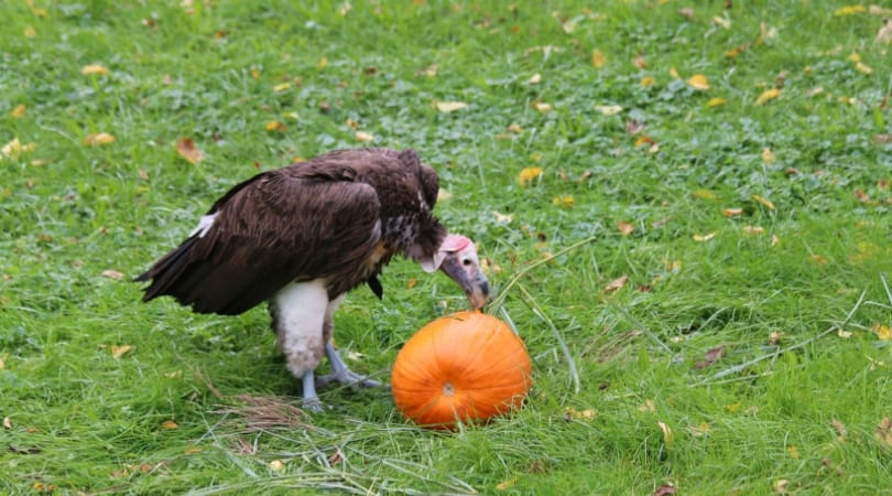 The zoo organizes its annual 'smashing pumpkins' event to encourage creatures large and small to forage and engage with their local environment (SWNS)