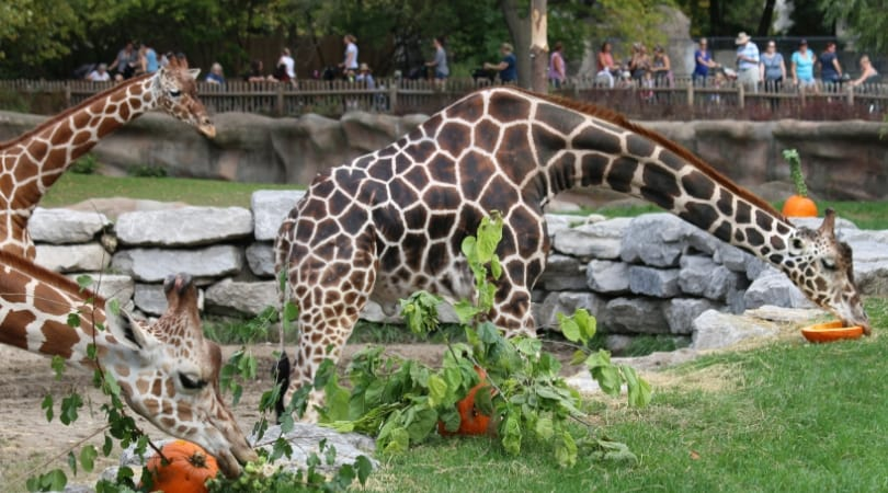 The giraffes relished their treats (SWNS)