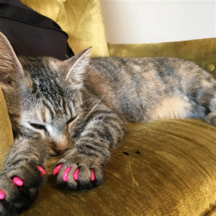 This brutal nail trend for cats needs to be stopped immediately, say ...