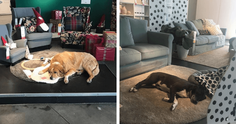 Ikea Store In Italy Opens Its Doors To Local Stray Dogs And Lets