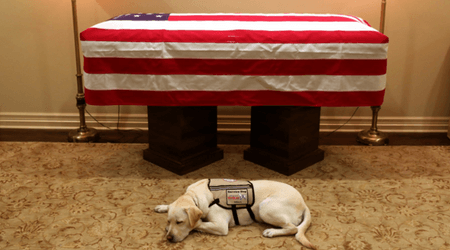 George HW Bush's service dog Sully lies by his coffin ready to accompany him to Washington on one last journey together