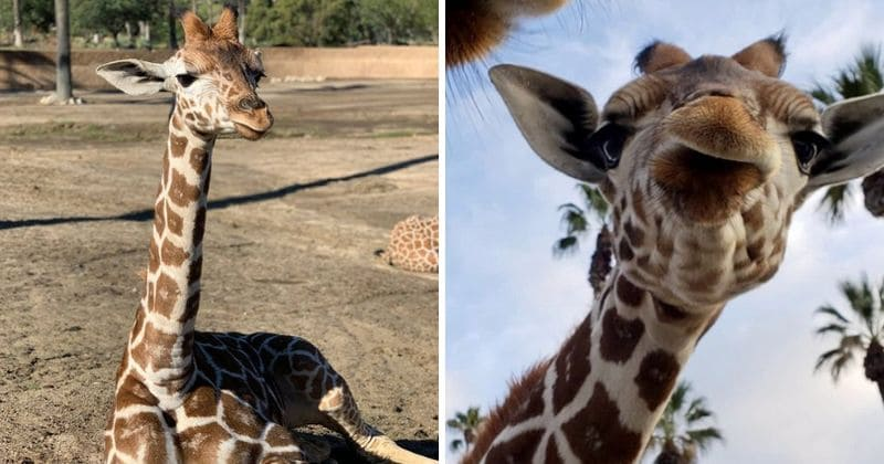 Kumi A Baby Giraffe At San Diego Safari Park Euthanized After