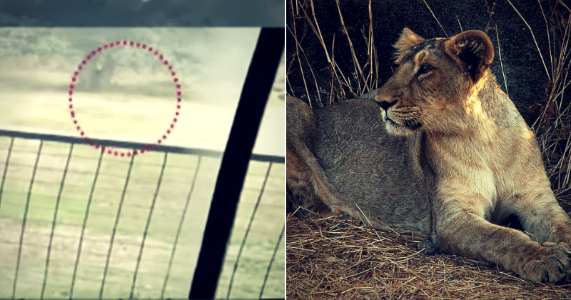 Man climbs into lion enclosure in Indian zoo and gets brutally mauled to death by two big cats