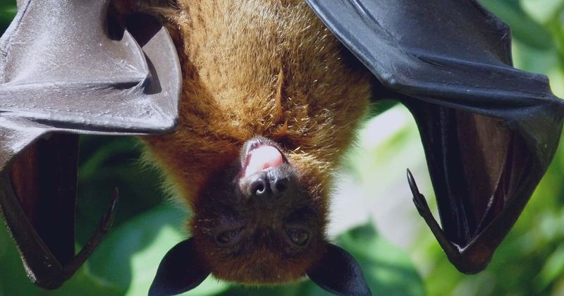 Coronavirus Bats Likely The Source But Other Animals May