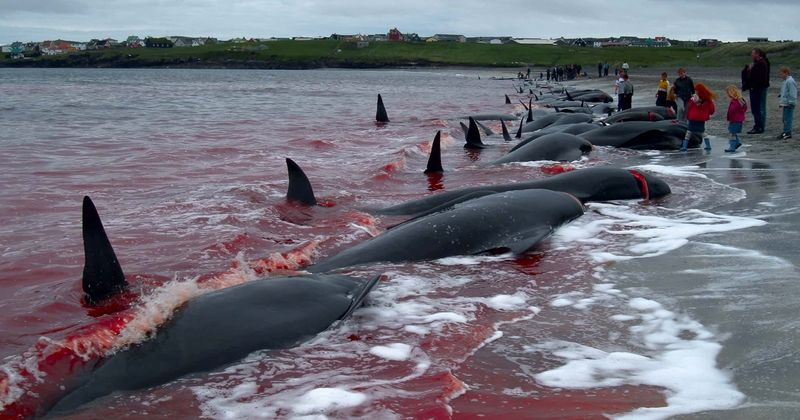 Activists call for ban on 1,000-year-old whale slaughter tradition as 'insane blood sport' turns seas red