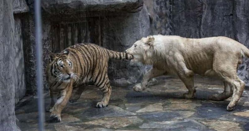 'Surviving Joe Exotic': What are ligers and why are Exotic's hybrids considered unethical?