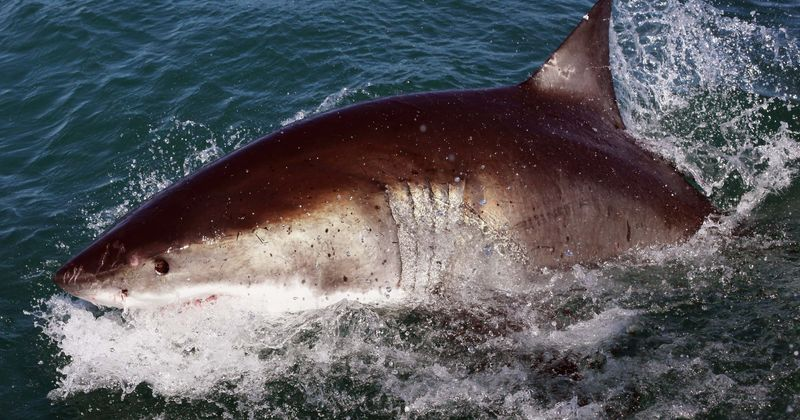 Shark Week 2020 | 'Great White Double Trouble': Are great white shark numbers rising in Australia's waters?