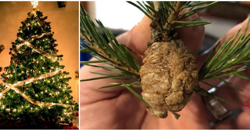 If you spot such clusters on your Christmas tree, you need to take the tree down immediately