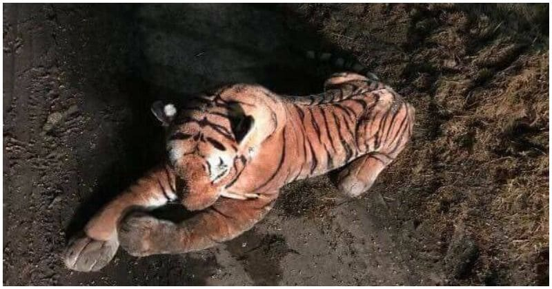 45-minute stand-off with a tiger ends when cops realize it was a stuffed toy!